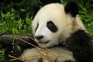 animales-del-mundo china