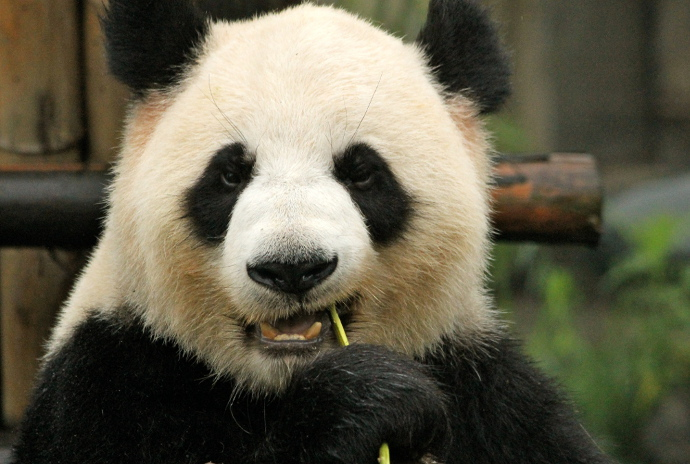 animales-del-mundo china panda