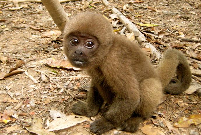 animales-del-mundo micos amazonas