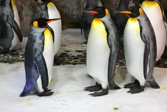 Auckland zoológico, nueva zelanda, pingüinos